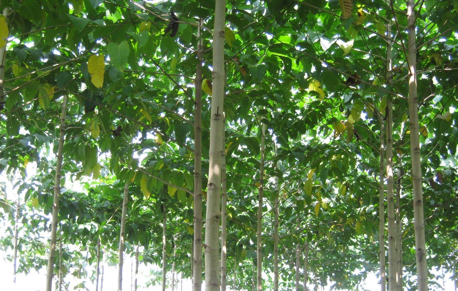 Tumbuh tanaman yang termasuk famili rubiaceae ini tumbuh baik pada